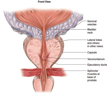 prostate-front